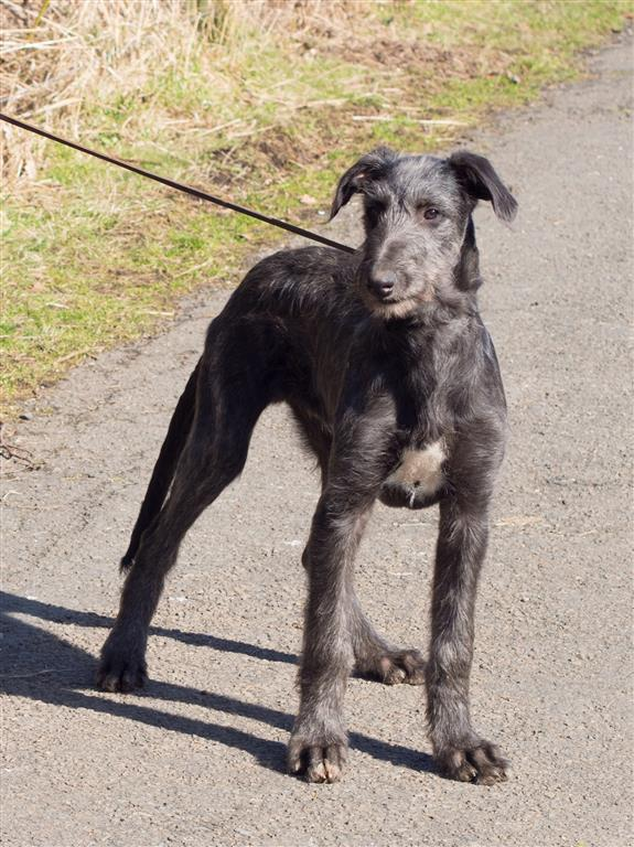 Deerhound puppies 16 weeks-16 (Medium).jpg