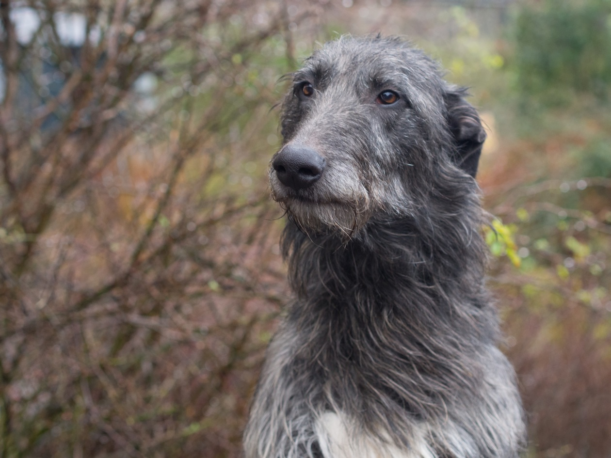 Wee_Macs_and_Deerhound_puppies-9.jpeg
